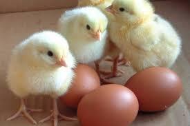 Chicken Hatcheries