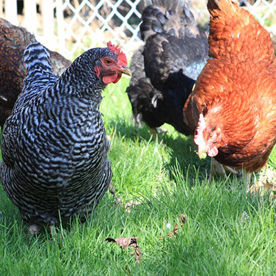 Sexing Chicks - Hens or Roosters