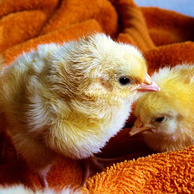 Timeline for Raising Baby Chicks
