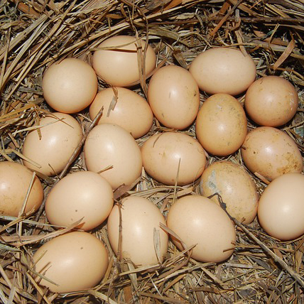 Top Chicken Breeds for Egg Production