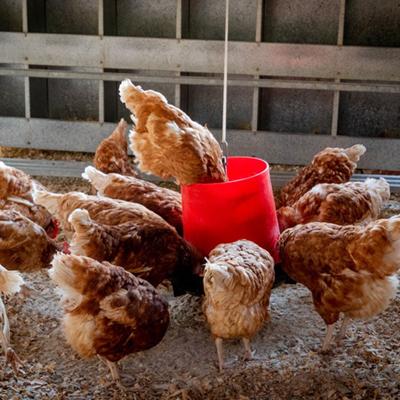 Warmish Chickens in a North American Winter