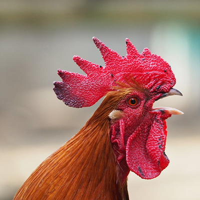 Rooster Crowing Why