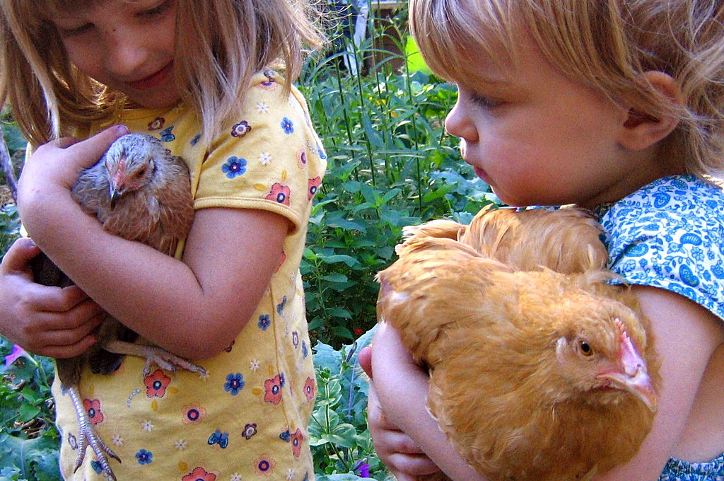 chicken pets are loved by kids of all ages