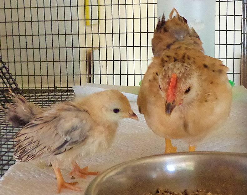 hatching chickens in a cage