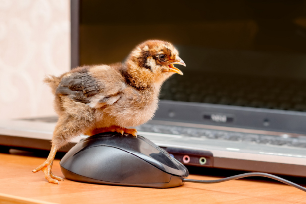 chick 28 to 42 days life
