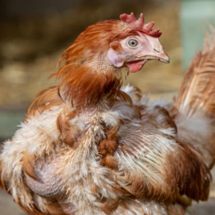 chicken behaviour