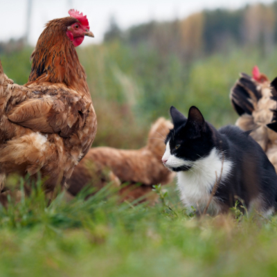 chickens and cats
