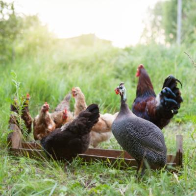 chickens guinea fowls