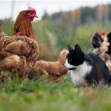 chickens and other pets