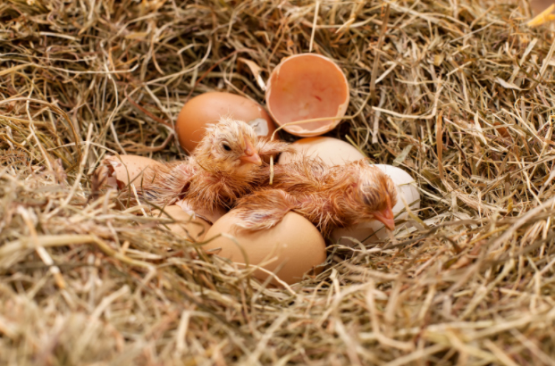 Chicks Life Day 0-60