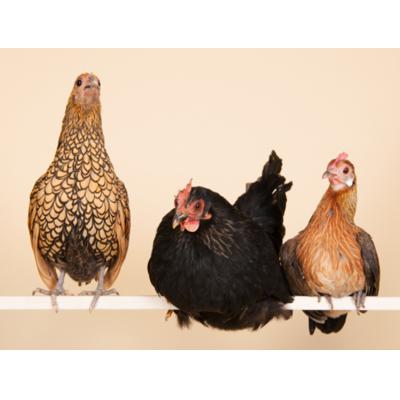 different chicken personalities