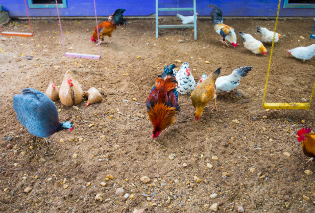 keep chickens entertained