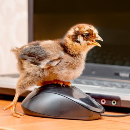 raising chicks