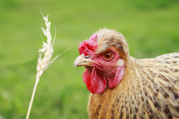 StrawberComb Chickens
