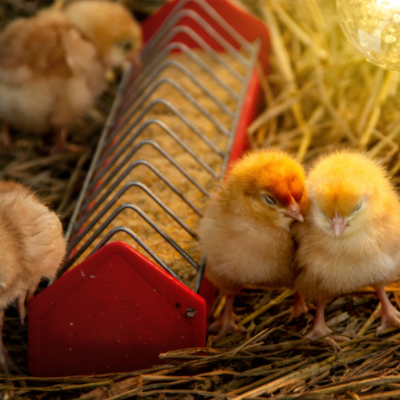 Needed for Baby chickens