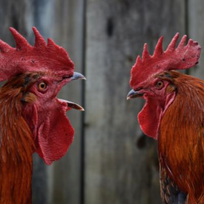 chicken language squawk