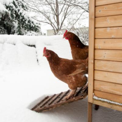 nabage chicken in winter