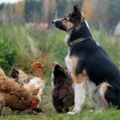 chickens and dogs together