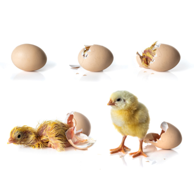 Egg Hatching process