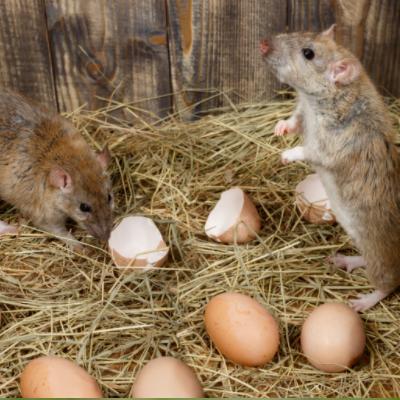 keep away rats