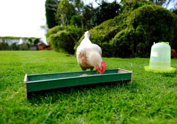chicken feeder location