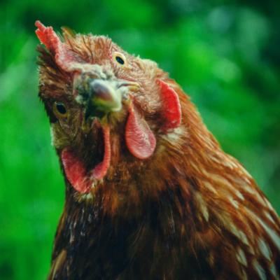 chicken keeping start