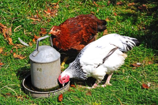 chicken basics: chicken waterers