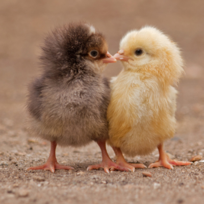 taking care baby chickens